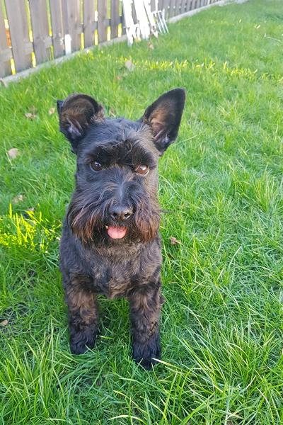Honky Schnauzer Terrier Mix